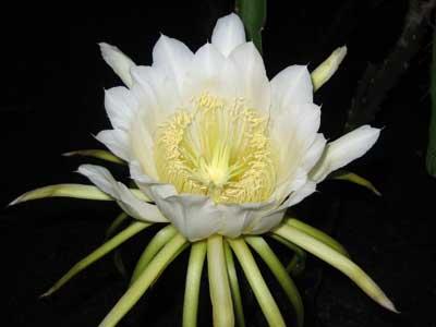 月下美人ににく似た「ドラゴンフルーツの花」