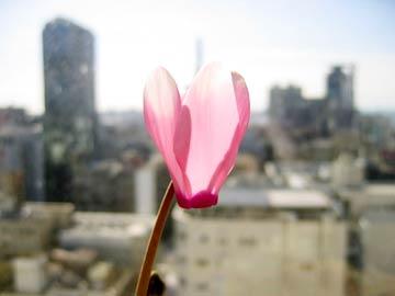 シクラメンの花言葉は「内気」「はにかみ」「遠慮がち」