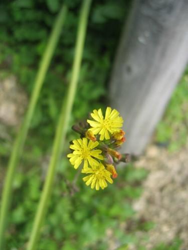 シンピジウムの花