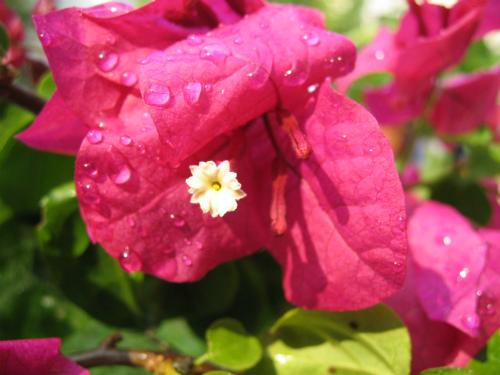 鉢植えのブーゲンビリア