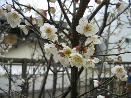 神戸市灘区の梅の花