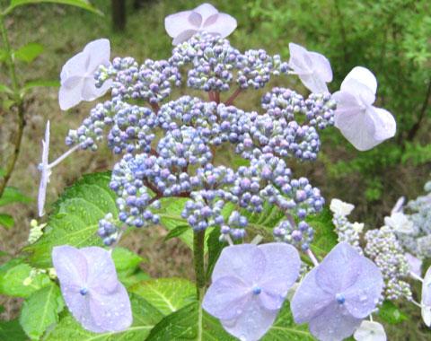 兵庫県多可郡多可町の紫陽花