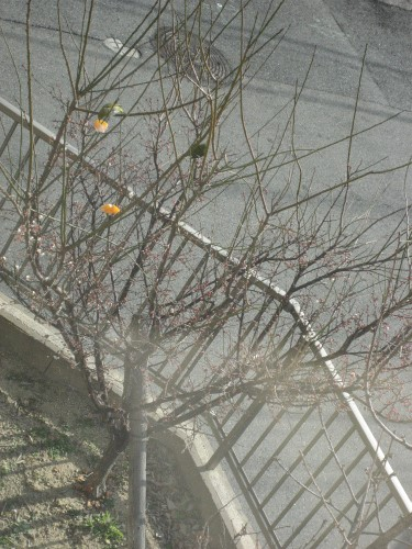梅の花にミカンを差していると、六甲山のふもとから、メジロがやってきます