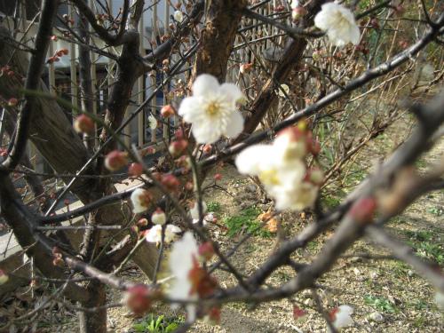 梅の花は、下から咲いてきます