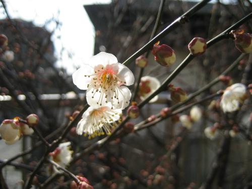 一輪一輪が、なんと可愛い咲き方をする梅の花