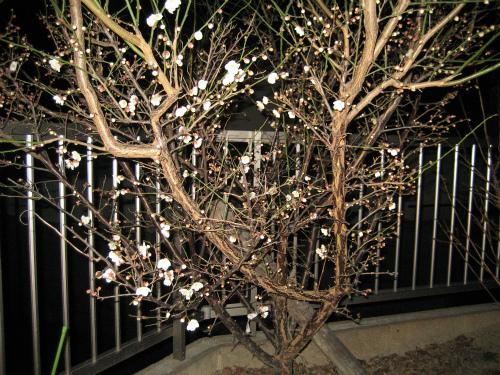 夜に見る梅は、艶やかです