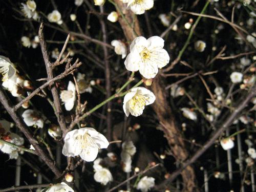 庭の梅の木