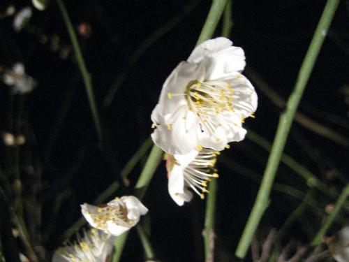 闇夜にパッと浮かんできた梅の花