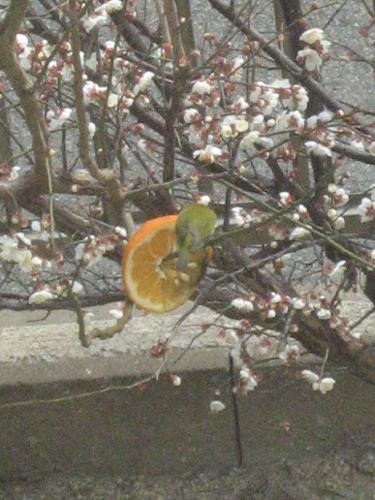 梅の小枝にメジロが頻繁に飛んできます