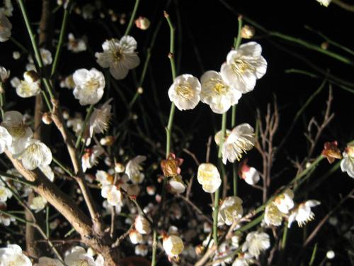 夜の梅の花