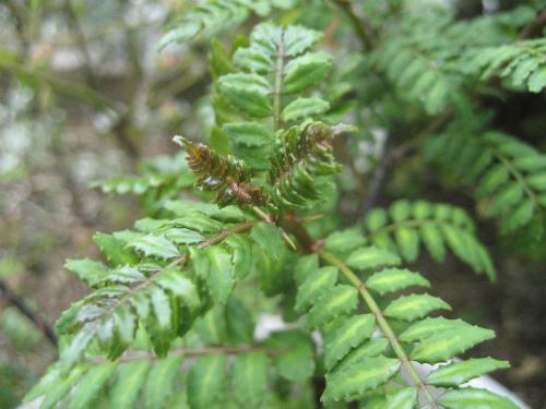木の芽が芽を出し、少し触っただけで、若々しい木の芽の香りが伝わります