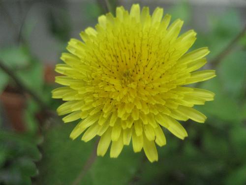 タンポポの花が、今使っていない放っていた植木鉢で咲いていました