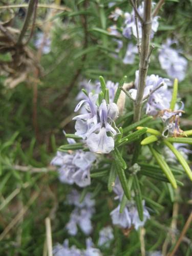 ハーブ系の花