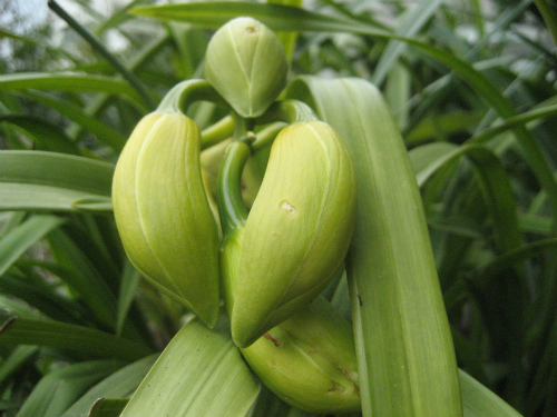 シンピジウムの鉢からも、花芽がゆっくりと覗いて育っています