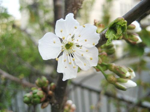 サクランボの実る「ナポレアン」の桜