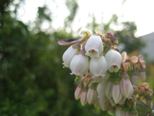 スズランのような、小さなちょうちんが集まったような花が咲いています