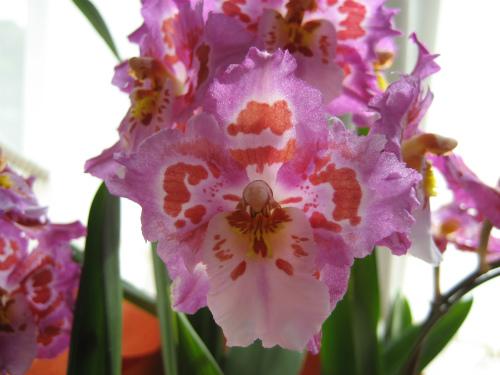 とても美しい蘭の花ですが、名前が分かりません