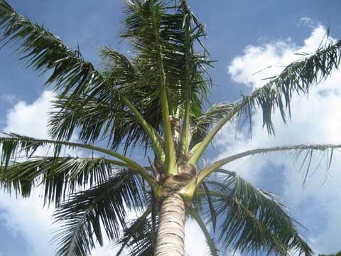 松葉博雄のいい写真撮りたいな:沖縄恩納村前兼久地区にそよぐ椰子の並木」