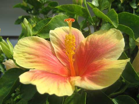 松葉博雄のいい写真撮りたいな:「太陽を一杯に浴びて育った沖縄恩納村のハイビスカス」