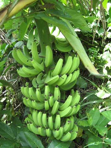松葉博雄のいい写真撮りたいな:「沖縄本島恩納村の畑に自然に実ったバナナ」