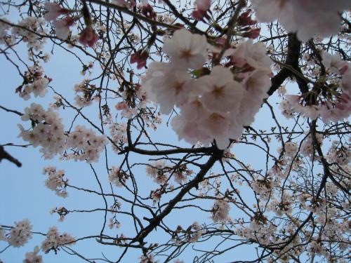 護国神社でのお花見