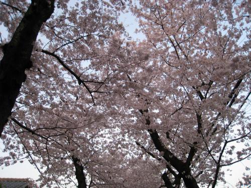 摩耶の「桜のトンネル」