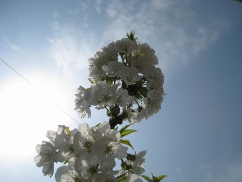 サクランボの花「ナポレオン」