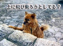 コロ(中型犬の雑種、♀、推定15~16歳)