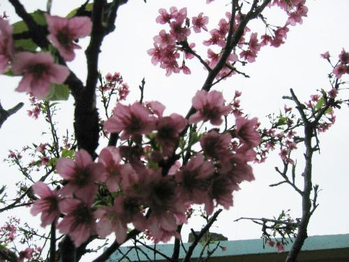 上間さんのお家の庭の桜