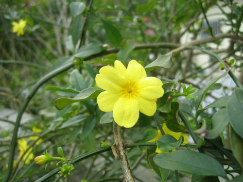 カズラの花