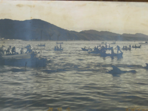 名護湾では、鯨漁