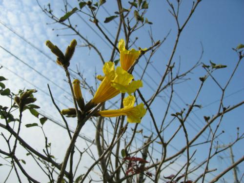 「イッペイ」という花