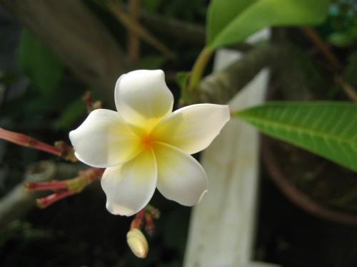沖縄恩納村に咲く花:ハイビスカス