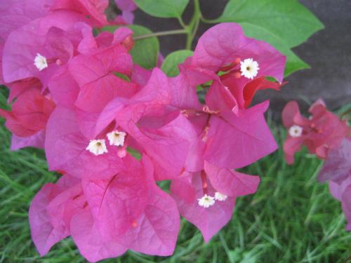沖縄恩納村に咲く花:プルメリア