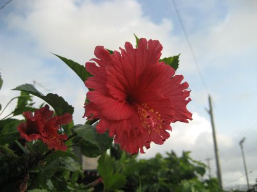 沖縄恩納村に咲く花:ブーゲンビリア
