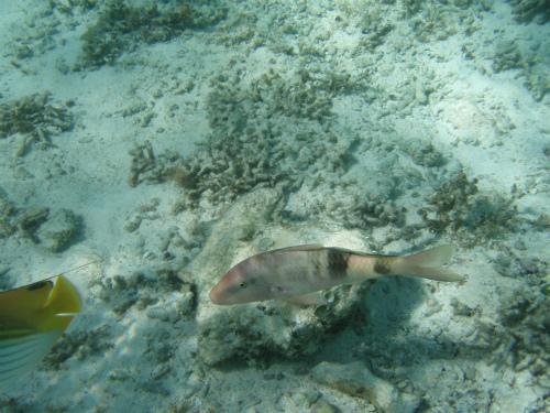 瀬底島ビーチの珊瑚