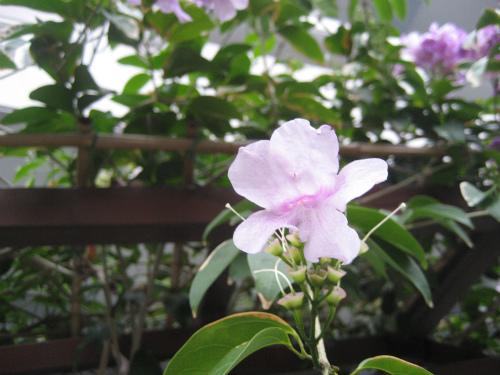 前兼久の集落の綺麗な花
