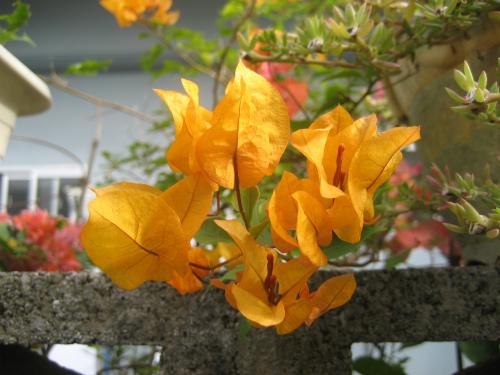 恩納村前兼久の集落の花
