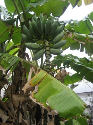 朝日会の近くのバナナ