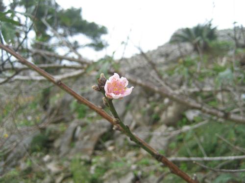 僅かにほころび始めた桜