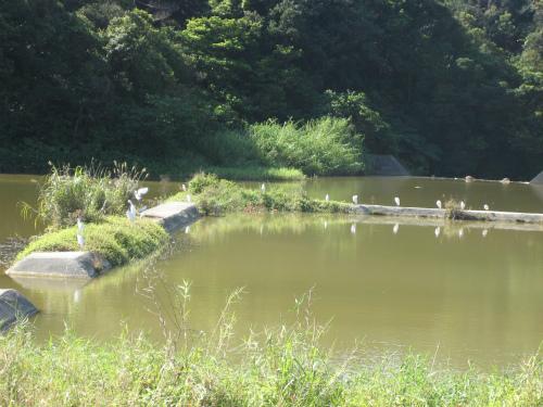 溜め池では、渡り鳥が羽を休めています