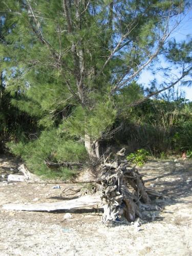 復活した松の木