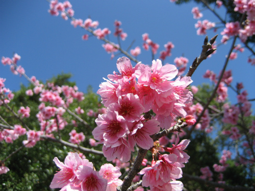 緋寒桜(ひがんざくら)