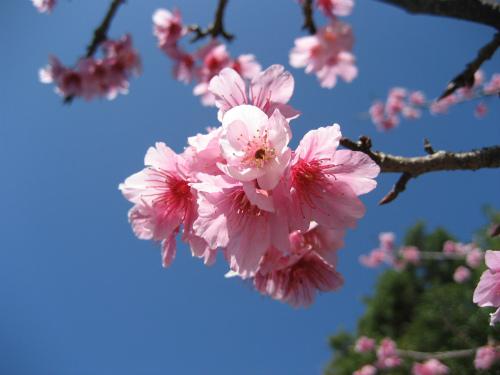 沖縄では、2月に緋寒桜が咲き、満開です
