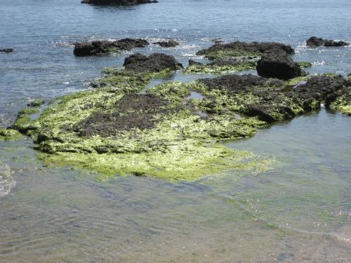 金武湾の岩は、海苔が乾いて、黄金色に輝いて見えます