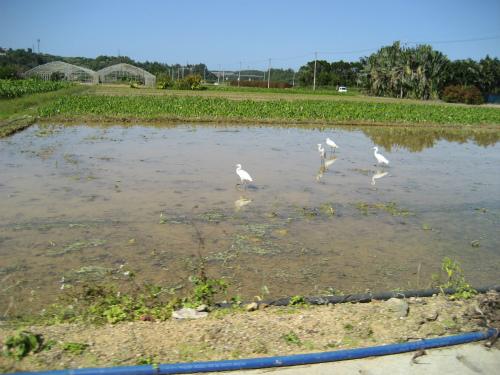 里芋畑には、水が張られ、そこに、野鳥が集まってきています