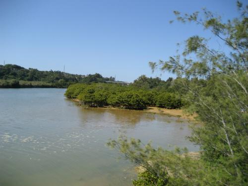 億首川のマングローブの林を見ます
