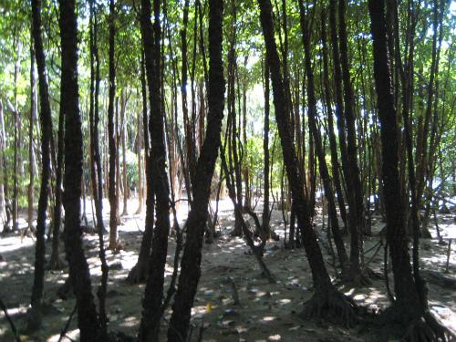 マングローブの林に入って行きます