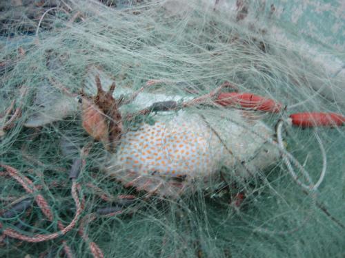 いくらか魚が掛かっていることを確かめて、刺し網を引き上げます