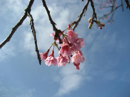 慶佐次にも、緋寒桜が咲いていました